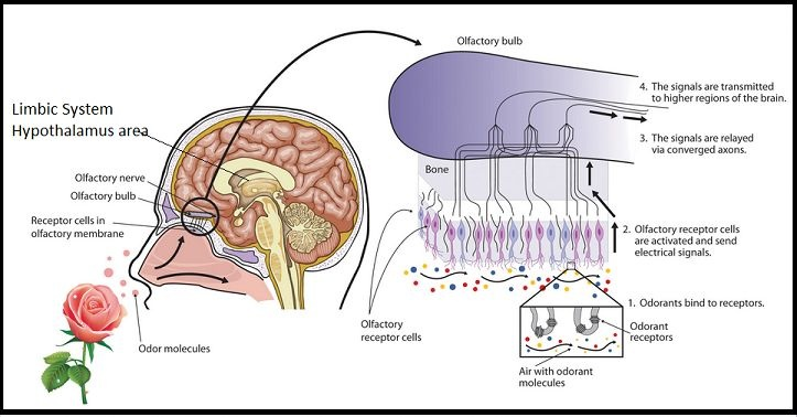 Aromatic molecules influence the emotional center of the brain - The Limbic System